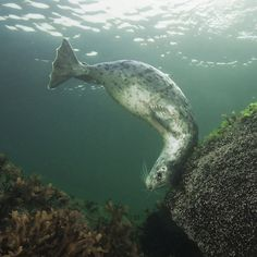"""Keeping one eye on me, a harbor seal rubs its back from """"Beneath Cold Seas"""" by David Hall."""