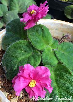 Variedad rosa moñuda de la flor violeta africana, género Saintpaulia