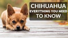 Best Cheap Dog Food For Chihuahuas - Are you wondering what the best foods for your loved chihuahua are? Check out our guide . Best Cheap Dog Food, Best Dog Food, Dry Dog Food, Best Dogs, Small Sized Dogs, Small Dog Breeds, Small Breed, Chihuahua Puppies, Chihuahuas