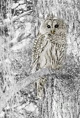 Snow Photos - Barred Owl Snowy Day in the Forest by Jennie Marie Schell