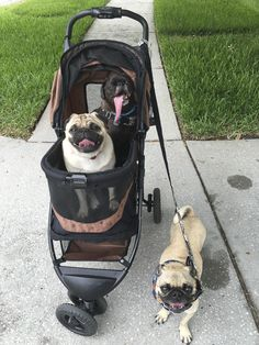 Social Pug Profile | Grumble of 5 http://www.thepugdiary.com/social-pug-profile-grumble-5/