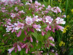 Dronningebusken/Kolkwitzia amabilis