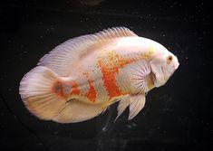 "OSCAR FISH BRAZIL on Instagram: ""Oscar fish lovers! ❤️ Thank you! 📷 @luc_fish_ 🐟 🐟 🇧🇷 Oscar Fish Brazil 🇧🇷🐟❤️🐟 🐟 Follow 🐟 @oscarfishbrazil 🐟 Partnership 🐟 @aquaticabrazil 🐟…"" Tropical Freshwater Fish, Freshwater Aquarium Fish, Oscar Fish, Cichlids, Sea World, Sea Creatures, Fish Tank, Fresh Water, Tanks"