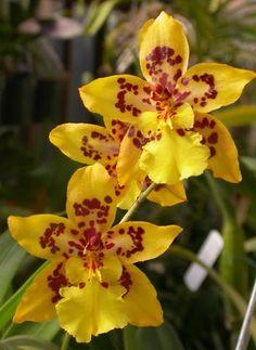 Oncidium Orchids | December blooming oncidium alliance orchids: Rodriguezia decora - Page ...