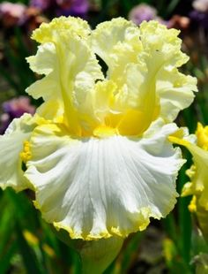 Iris 'Material Girl' (NEW)--would make a flower garden stand out