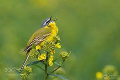 Pliszka żółta Yellow Wagtail (Motacilla flava) ... 2016r by RafaSzozda. @go4fotos