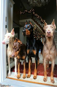 These Dobermans are looking so festive for the holidays! #love