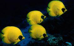 desktop yellow fish wallpaper
