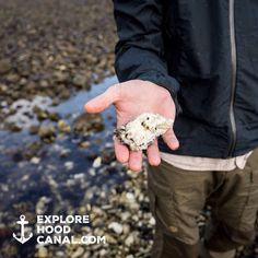A beauty! See more on our Instagram: https://instagram.com/explorehoodcanal/  #shellfishing #potlatch #potlatchstatepark #hoodcanal #explorehoodcanal #wildsideWA #oyster