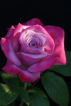 Beautiful Rose Flowers, Romantic Roses, Elegant Flowers, Colorful Flowers, Beautiful Flowers, Flowers Nature, Rose Flower Wallpaper, Hybrid Tea Roses, Flower Quotes