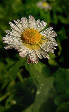 Paquerette après la pluie. by Pierre Denis on 500px