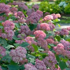 Invincibelle® Spirit Smooth Hydrangea; Exposure: Part Sun to Sun; Season: Spring, Summer; Mature Size: 36 - 48 Inches