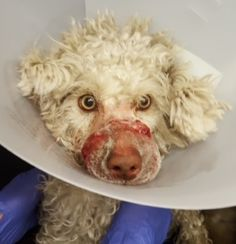 A dog had a rubber band wound tightly around his snout until his mouth and tongue became dangerously infected. Find and punish the person responsible for this sadistic cruelty.