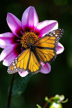 ~Monarch butterfly~