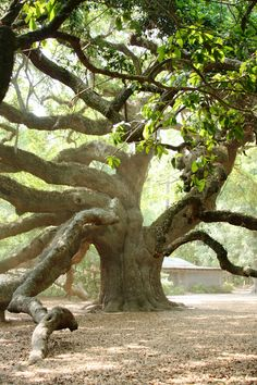 Angel Oak Tree, a 1500+ year old Oak Tree outside of Charleston, South Carolina