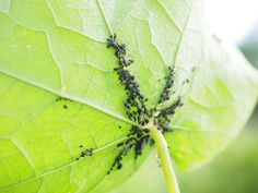 Tips on how to revive dying houseplants. How to grow healthy plants and control pest with natural organic pest control, and help your houseplant Tomato Bugs, Tomato Plants, Aphids On Plants, Get Rid Of Aphids, Garden Insects, Garden Bugs, Plant Diseases, Powdery Mildew, Beneficial Insects
