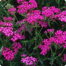 Vivara » Shop » Planten » Vaste planten » Duizendblad (Achillea millefolium 'Cerise Queen')