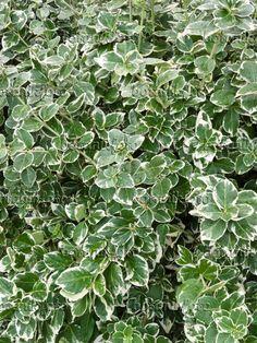 418046 - Winter creeper (Euonymus fortunei var. radicans 'Emerald Gaiety')