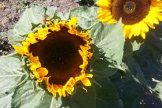 Sunflowers at McMillan Farms Sunflowers, Farms, Plants, Homesteads, Plant, Sunflower Seeds, Planets
