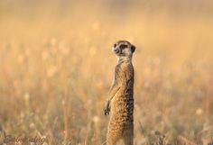 Meerkat was captured in Botswana, Africa.