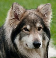Utonagan Dog is gentle in nature so it is loved by the adults,childdren and even other pets in the house.Infact it is everybody's chum. I Love Dogs, Cute Dogs, Awesome Dogs, Utonagan Dog, Czechoslovakian Wolfdog, Saarloos, Super Cute Animals, Cutest Animals, Cute Husky