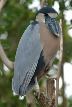 Boatbilled Heron  Rio Tarcoles, Costa Rica  http://www.flickr.com/photos/lucie_et_philippe/5979045362/