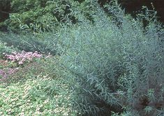 Salix purpurea 'Nana' | Sunnyside Gardens