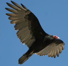 Turkey Vulture:Are you currently undergoing an internal death and rebirth cycle? Are you ready to assert your actions from your ideas? Buzzard will aid in transforming knowledge to bring the unconscious to conscious and teach how to soar above it and bring the transformation you are needing at this time. Are you ready for these lessons of awakening?