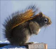A Bushy-tailed Visitor--Red Squirrel