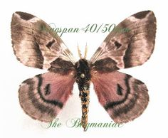 Saturnidae : Molippa rosea - The Bugmaniac INSECTS FOR SALE BUTTERFLIES FOR SALE INSECTS FOR SALE MOTHS FOR SALE MOTHS BY ECOZONE NEOTROPICAL ECOZONE SATURNIDAE
