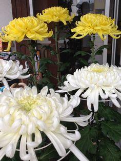 平成25年10月22日(火)、河北重陽会・佐藤幸男会長よりこれから七五三で賑わう境内へと菊2鉢をご奉納いただきました。誠にありがとうございます。