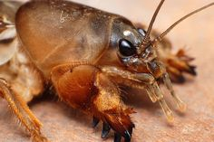still my favorite insect I've collected...the Mole Cricket