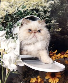 I gots the mail Himalayan Cat, Fancy Cats, Beards, Creatures, Kitty, Friends, Sweaters, Life, Beautiful