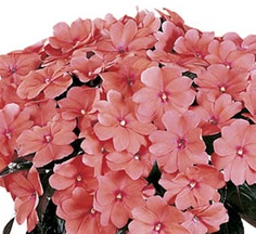 New Guinea Sonic® Salmon Impatiens