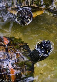 Turtle Island. Morikami Japanese Gardens and Museum, North Boca Raton, Florida.