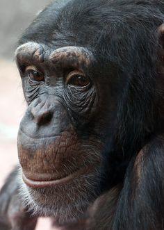 chimp face http://tsjok45.wordpress.com/2014/09/02/emoties/gesichte/ http://www.pbase.com/kade/gesichter