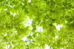 Green Leaves Background Photo Wallpaper, Wall Wallpaper, Green Leaf Background, Green Leaves, Decoration, Herbs, Colours, Inspiration, Backgrounds