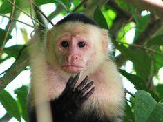 Capuchin Monkey (Cebus capucinus)   Rainforest Alliance