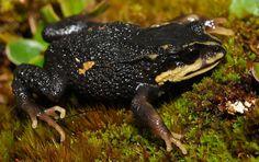 Psychrophrynella teqta - Descubre esta ranita andina y ya está en peligro de extinción.