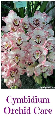 I live in orchid country & grow cymbidiums outdoors. #orchids