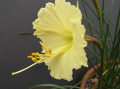 This narcissus called Cedar Valley, a pale bulboducum is at http://www.handymount.co.uk
