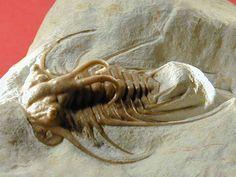Oklahoma trilobite Dicranurus hamatus elegantus
