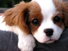 Worlds Cute Tiny Puppies