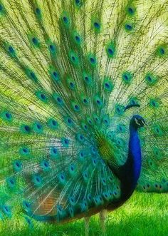 Peacocks are pheasants. Their coloring is gorgeous. The males can have several females at a time and eachj will lay three to five eggs. Pretty Birds, Beautiful Birds, Animals Beautiful, Exotic Birds, Colorful Birds, Animals Of The World, Animals And Pets, Peacock Pictures, Peafowl