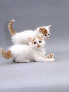 Turkish Van kittens are super intelligent & super active.... Just found out my Max is actually a Turkish Van... one more reason for me to be way too obsessed with him :)