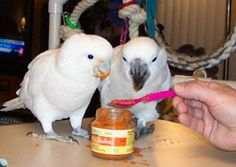 A funny parrot can be so cute. Check out these funny parrot videos. Contains some funny parrots dancing, some funny parrots talking or better said, imitating, Parrot Pet, Parrot Toys, Parrot Bird, Betta, Parrot Food Recipe, African Grey Parrot, Bird Aviary, Budgies, Parrots
