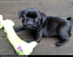 Cute Pug Puppy  from http://APlaceToLoveDogs.com  dog dogs puppy puppies cute doggy doggies adorable funny fun silly photography