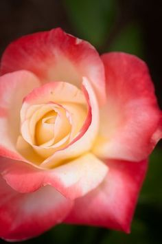 Funny... This is a Gemini rose, and it's similar to the one I'm getting a tattoo of. AND I'm a Gemini! Hmm!