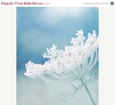 Queen Annes Lace Photograph white flower by FirstLightPhoto, $22.50