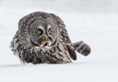 Photo of the day: Grey owl munches on a mouse  Photo by Karl Zuzarte (Tiverton, RI); Ottawa, Canada